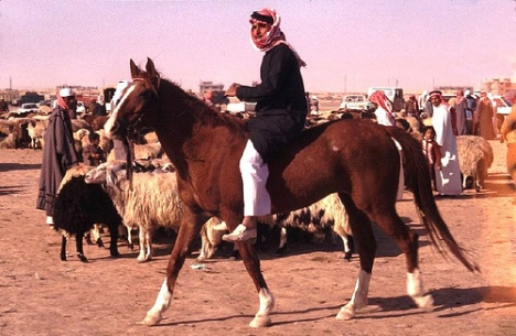 arabian-horses-2-with-bedu