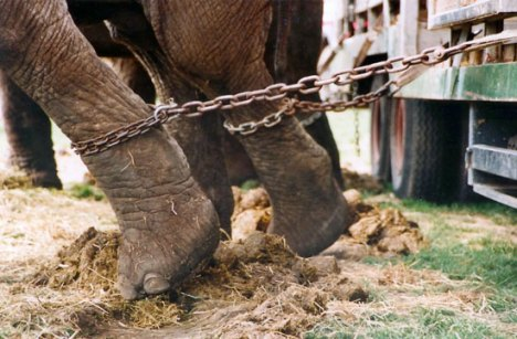 abused circus animals